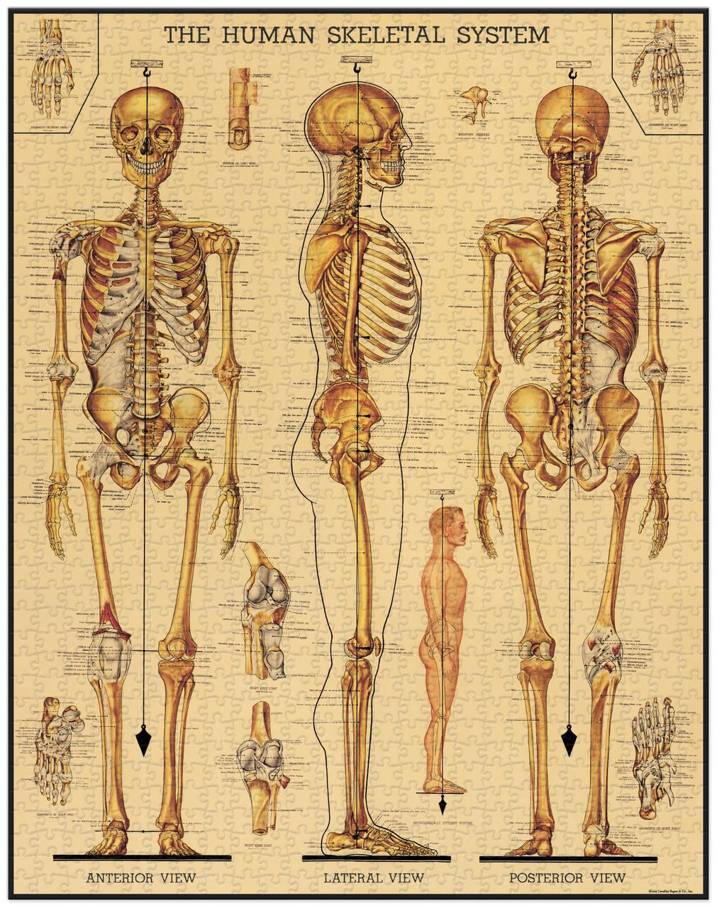 Skeletal System Vintage Puzzle